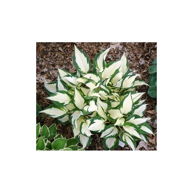 Hosta Fire and Ice G-12