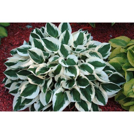 Hosta Patriot G-12