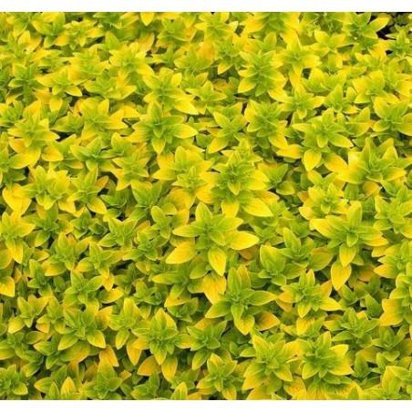 Origanum vulgaris Gold G-9