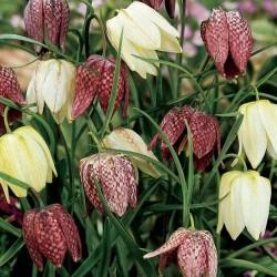 Fritillaria meleagris mix AS - 15 bulbi