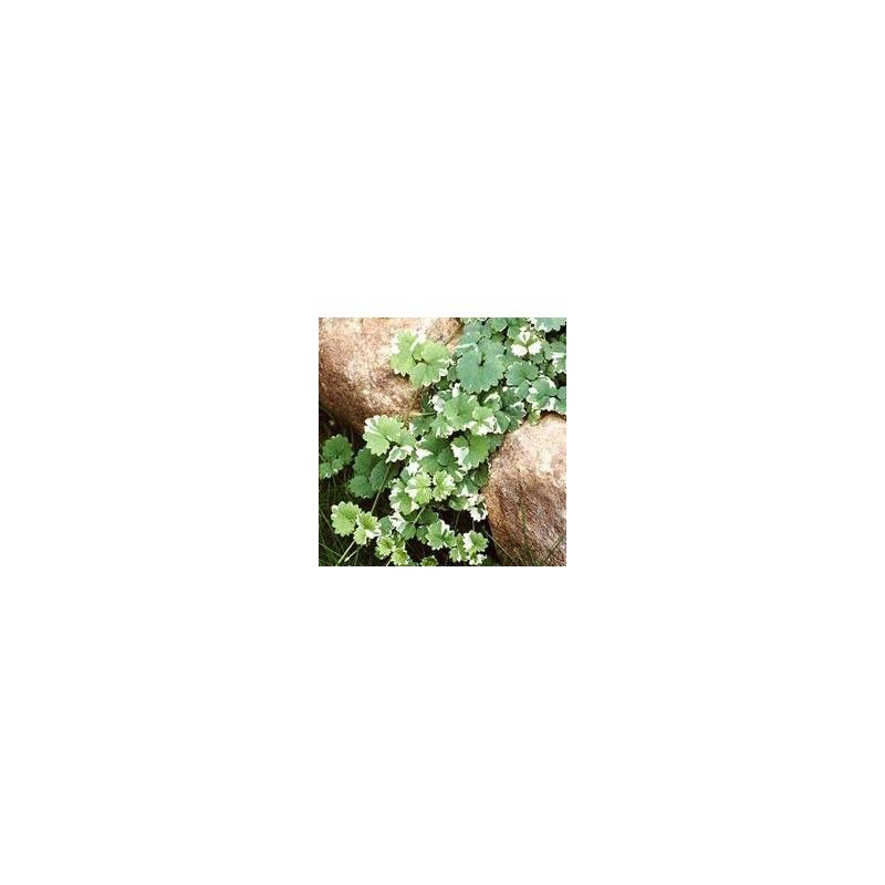 Glechoma nepeta variegata