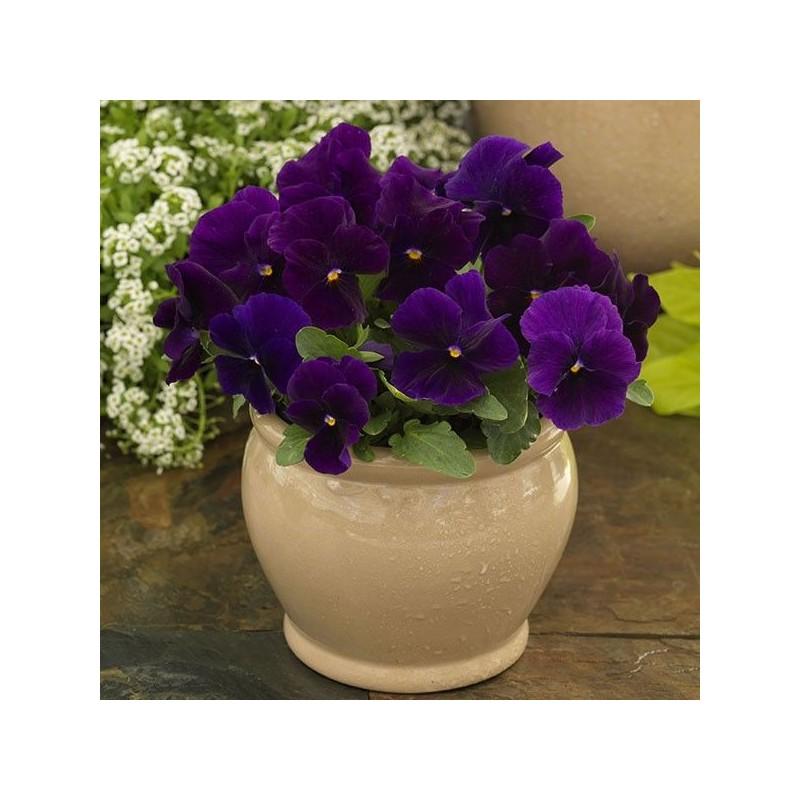Seminte Viola cornuta Grandissimo F1 Clear Purple