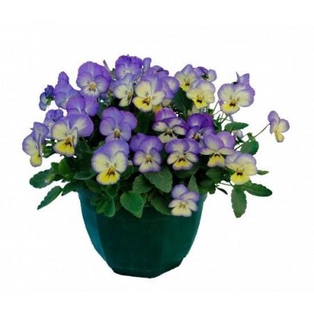 Seminte Viola cornuta Grandissimo F1 Icy Blue