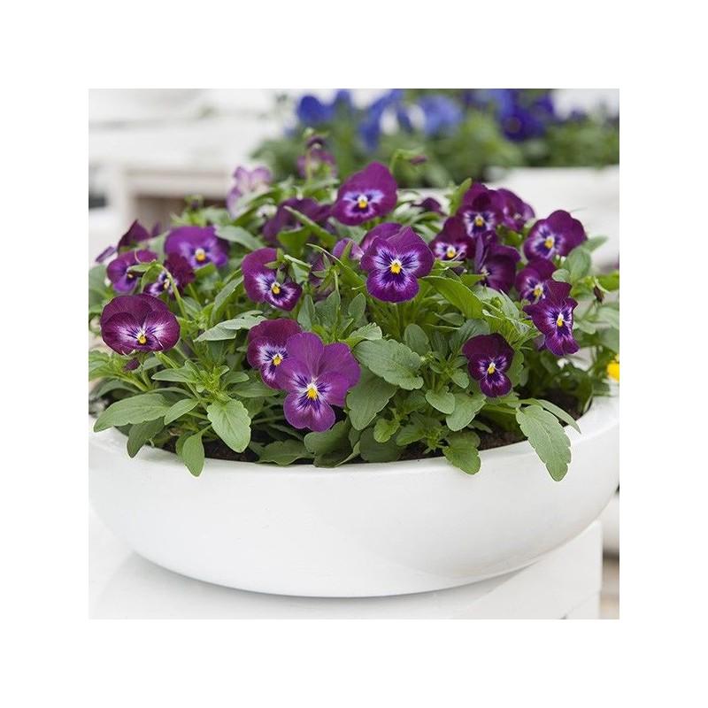 Seminte Viola cornuta Grandissimo F1 Purple Glow