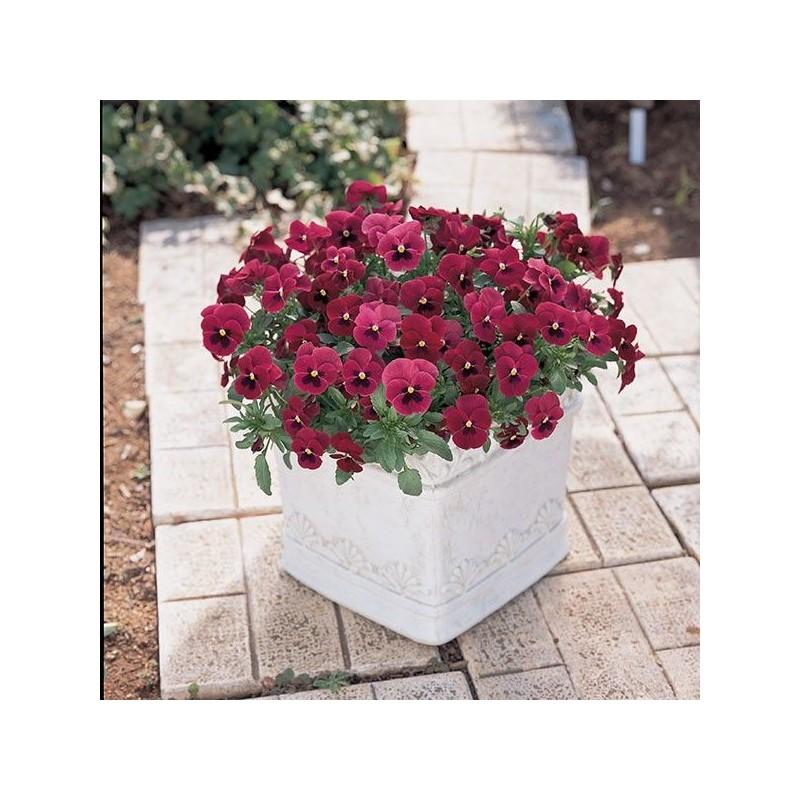 Seminte Viola cornuta Grandissimo F1 Rose with Blotch