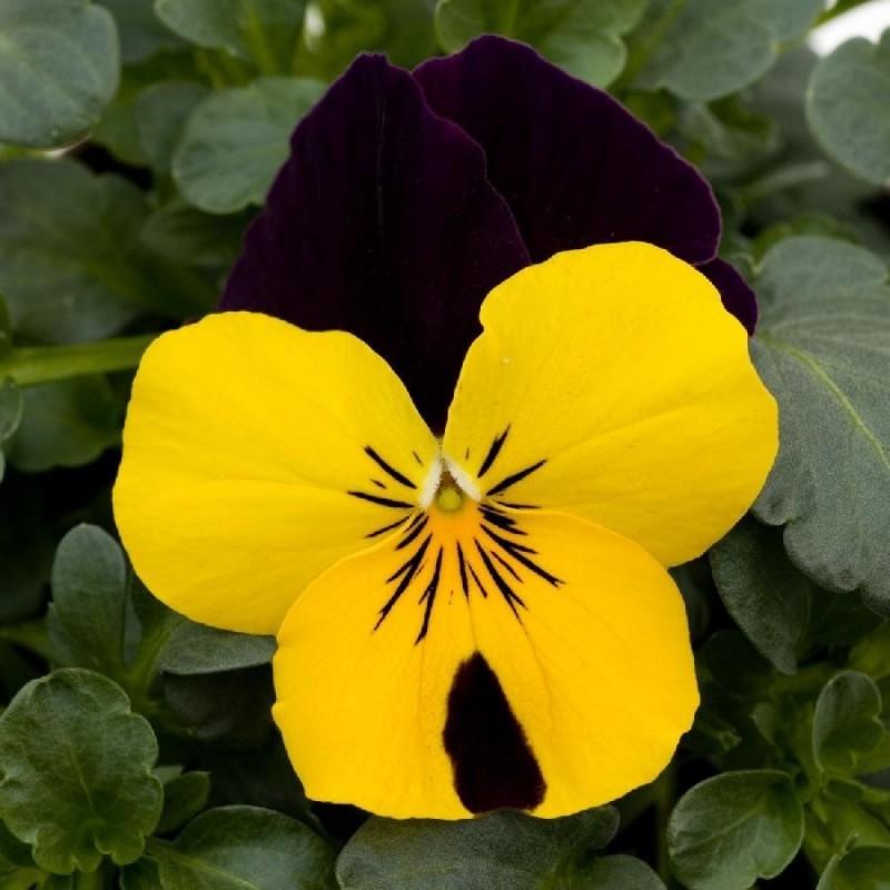 Seminte Viola cornuta Grandissimo F1 Yellow Jump Up
