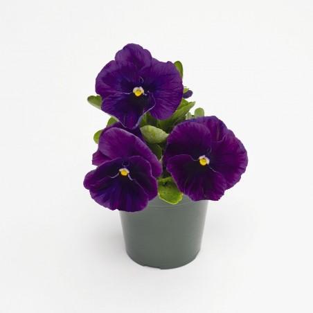 Seminte Viola wittrockiana Inspire F1 Plus Violet