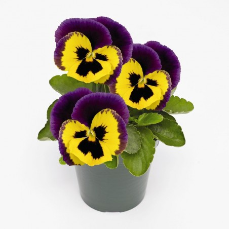 Seminte Viola wittrockiana Inspire F1 Plus Yellow Purple Face