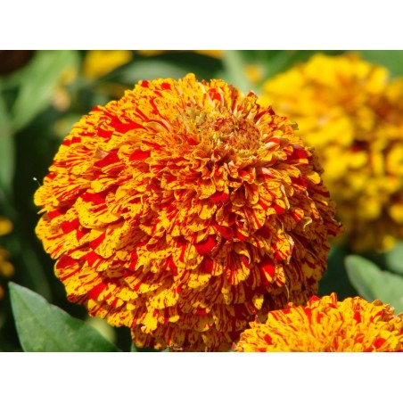 Seminte Zinnia elegans Pop Art Golden & Red