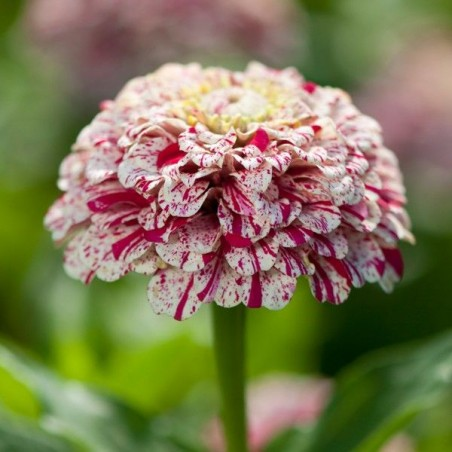 Seminte Zinnia elegans Pop Art White & Red