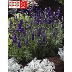 """Lavandula angustifolia """"Ellagance Purple"""""""