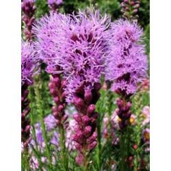 """Liatris spicata """"Floristan Violet"""""""