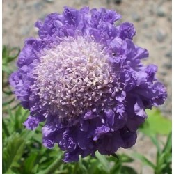 Scabiosa japonica Blue Note G-9