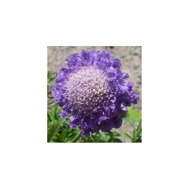 "Scabiosa japonica ""Blue Note"""