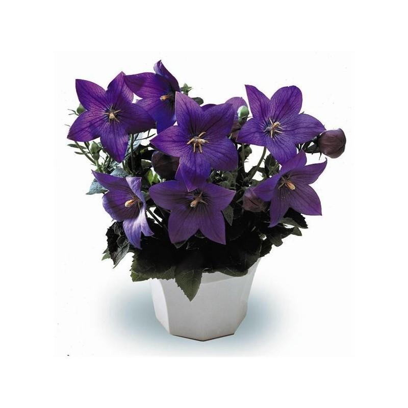 "Platycodon grandiflora ""Astra Blue"""