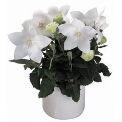 "Platycodon grandiflora ""Astra White"""