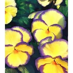 Viola hybrida Etain