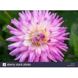 Dahlia cactus bulbi Pink & White - 1 bulb
