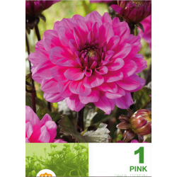 Dalia decorative Border Pink - 1 bulb