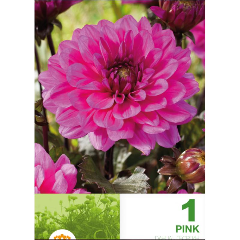 Dalia decorative Border Pink - 1 bulb