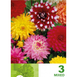 Dahlia decorativa mix - 5 bulbi KM