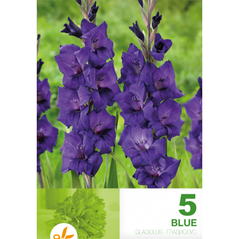 Gladiole bulbi Velvet - 5 bulbi
