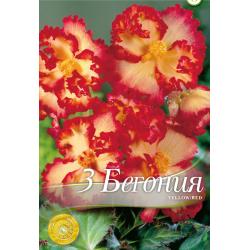 Begonia crispa Marginata Yellow Red - 3 bulbi