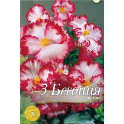 Begonia marginata White Red - 3 bulbi