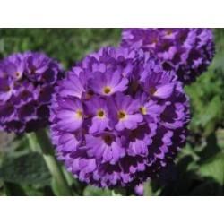 Primula denticulata Lilac G-9