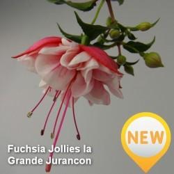 Fuchsia Jollies la Grande Jurancon G-9