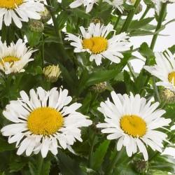 Leucanthemum maximum Ohh La Lagrande