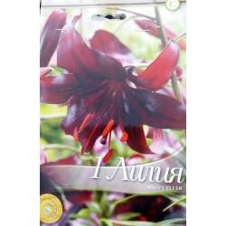 Lilium longiflorum Night Flyer - 1 bulb