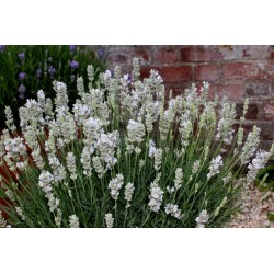 Lavandula angustifolia White Fragrance G-9