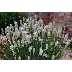Lavandula angustifolia White Fragrance G-9