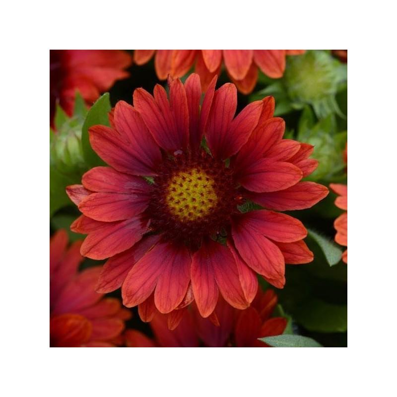 Gaillardia x grandiflora Mesa Red G-9