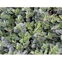 Origanum vulgaris Hot and Spicy G-9