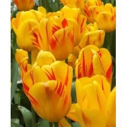 Tulipa Olympic Flame - 8 bulbi