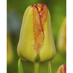 Tulipa Cape Town - 8 bulbi