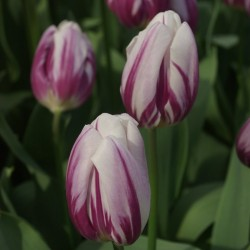 Tulipa Flaming Flag - 8 bulbi
