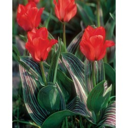 Tulipa Red Riding Hood - 5 bulbi