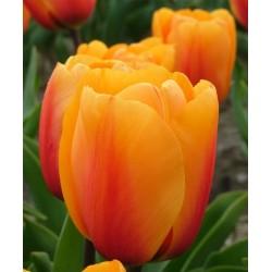 Tulipa Cash - 8 bulbi