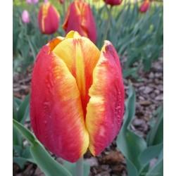 Tulipa Denmark - 8 bulbi