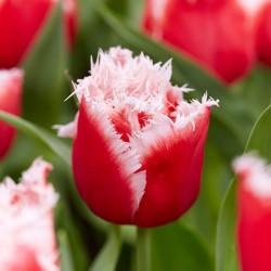Tulipa New Santa - 8 bulbi