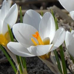 Crocus chrysanthus Ard Schenk - 10 bulbi