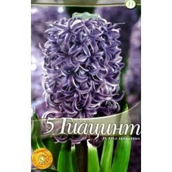 Hyacinthus Purple Sensation - 5 bulbi