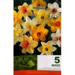 Narcissus Trumpet mix - 5 bulbi