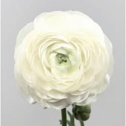 Ranunculus White - 10 bulbi