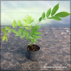 Wisteria sinensis G-9