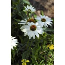 Echinaceea purpurea Powwow White