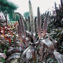 Pennisetum glaucum Purple Baron